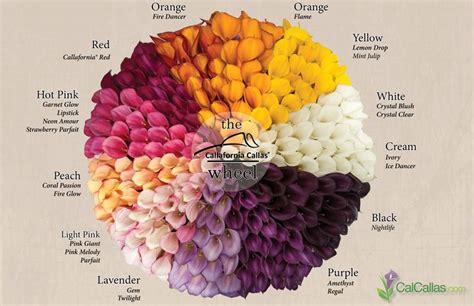 calla lilies colors calla flower colors calla color wheel