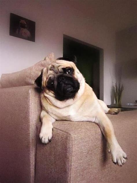 pug couch 2604 best images about pug love on pinterest