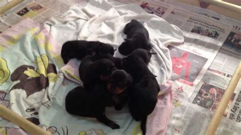 newborn rottweiler puppies new born rottweiler puppies 2