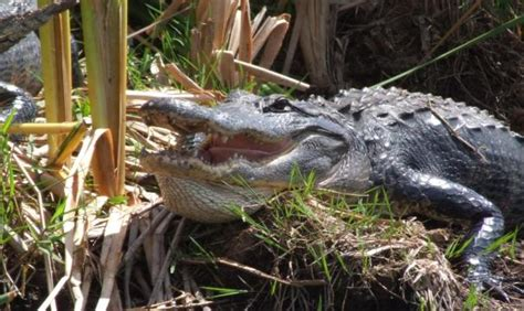 airboat rides and zoo coopertown everglades airboat tour restaurant miami