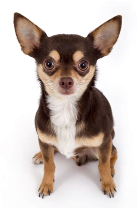 chihuahua puppies care taking care of a chihuahua puppy what you need to