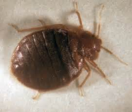 what do bed bugs look like what does it look like