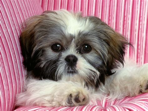all about shih tzu free hq rascal shih tzu wallpaper free hq wallpapers
