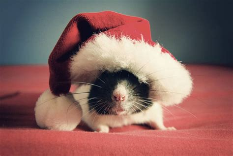 images of christmas mouse cute rat pictures by jessica florence