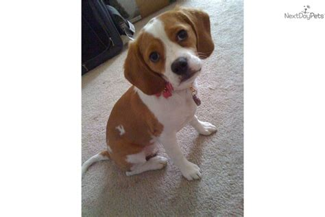 beagle puppies for sale in ct beagle puppies for sale price 300 in lebanon connecticut pets world