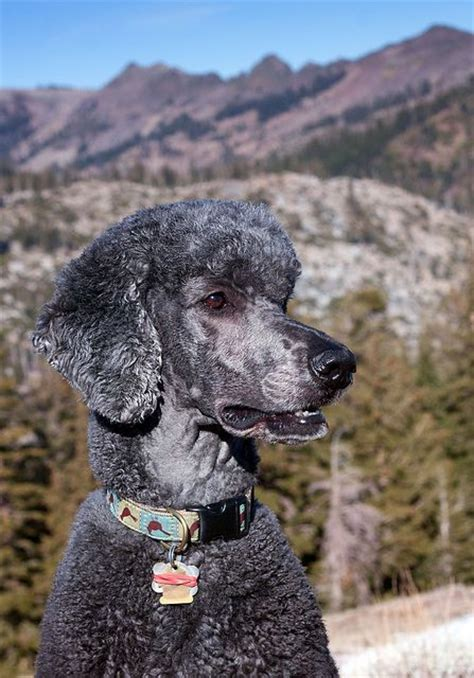 french poodle haircuts 1000 images about cool grooming cuts on pinterest