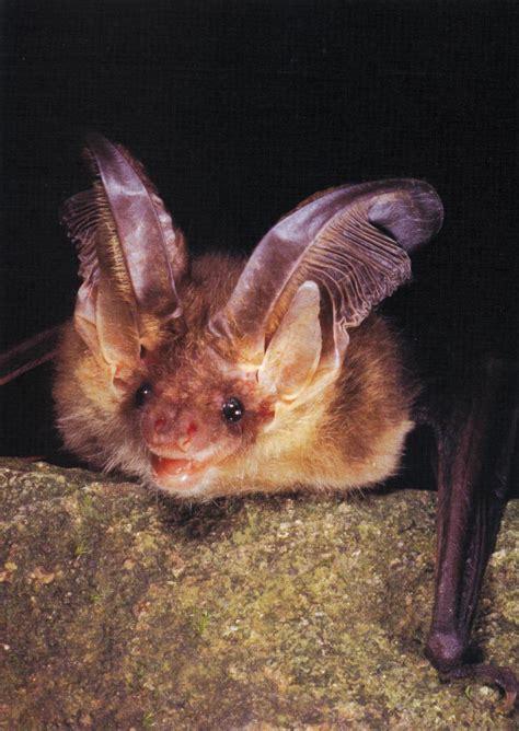 pipistrello le guida ai pipistrelli e alle bat box bat box news