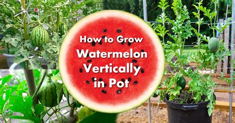 growing watermelon  containers   grow watermelon