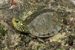 map turtles maryland biodiversity project northern map turtle