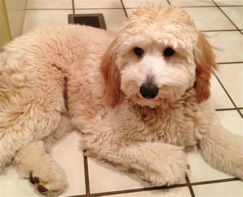 goldendoodle puppy phases best 20 medium goldendoodle ideas on