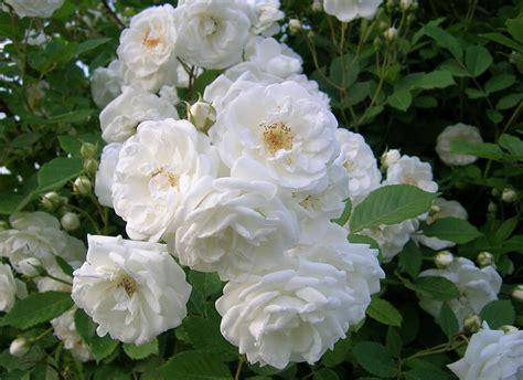 galeri gambar bunga mawar  cantik  indah
