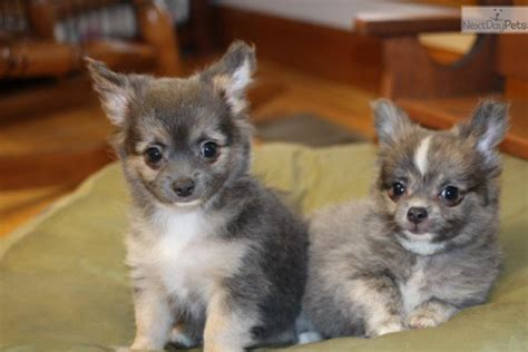 chihuahua puppies for sale in missouri akc chihuahua puppy chihuahua for sale breeds picture