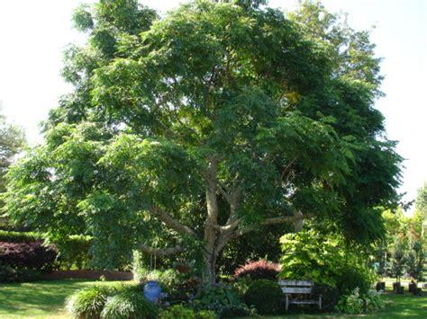 Home Decor Websites Nz by Melia Azedarach Indian Bead Tree Tauranga Tree Co
