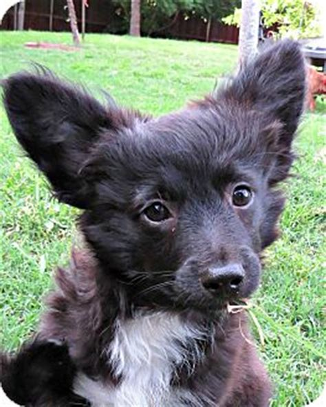 pomeranian schnauzer mix mckinney tx pomeranian schnauzer miniature mix meet jacob a puppy for adoption