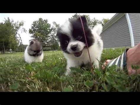 pomeranian puppies for adoption in pa teacup pomeranians and chihuahua puppies for adoption near erie pa