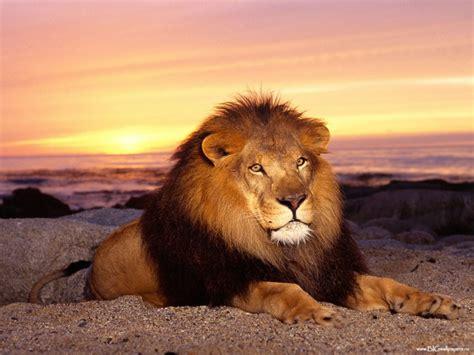 imagenes full hd de leones selva tropical adaptaciones