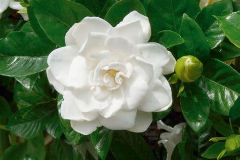mundo maravilloso la flor el jazm 237 n la flor del perfume bot 225 nica el maravilloso mundo verde