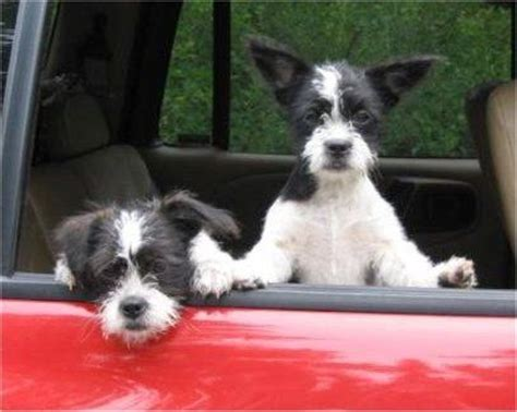 boston terrier and shih tzu 14 boston terrier cross breeds you to see to believe