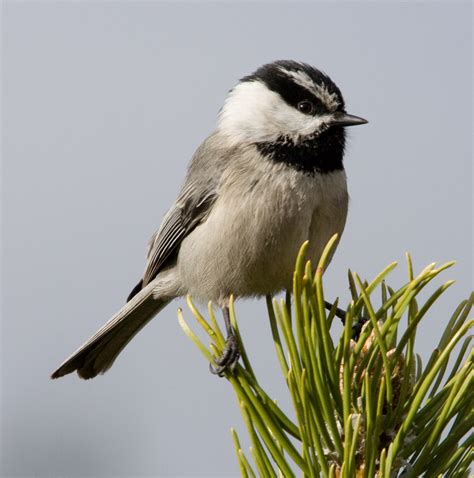 mountain chickadee bird house plans furnitureplans