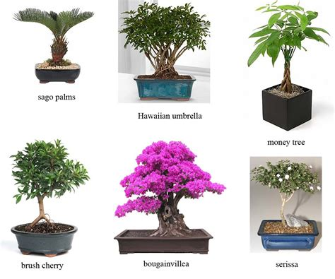 Bonsai Baum Arten by Bonsai Tree Types With Pictures Images