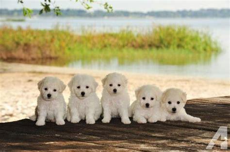 bichon frise puppies florida bichon frise registered quality family raised puppy for sale in clermont florida