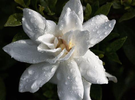 gardenia flower gardenia flower