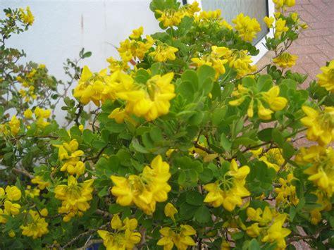 shrub identification by flower plant identification gardening forum gardenersworld