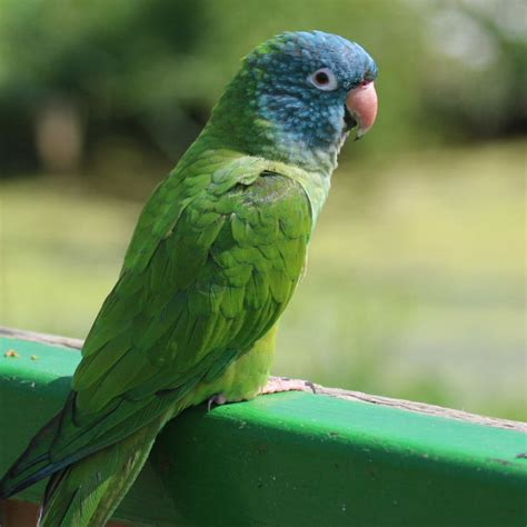 blue crowned conure facts as pets behavior diet