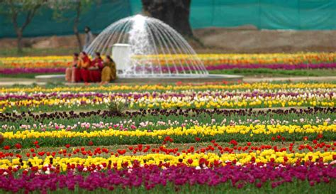 Tulips Tourists And Taliban Frontline Club Tulip Flower Garden In India