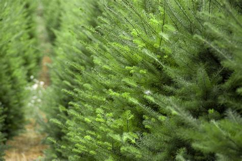 guide to harvest your own christmas tree farms in ontario