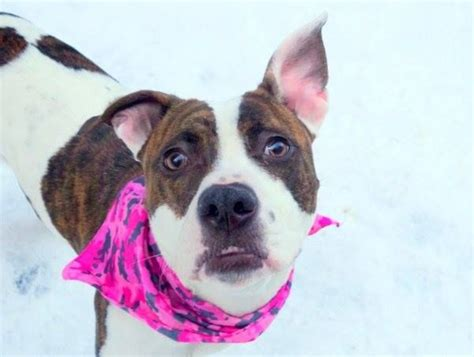 manhattan pits 17 best images about s the pits and other animals on