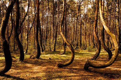 mysterious crooked forest in west pomerania poland laurence ourac travel blog the mysterious beauty of the