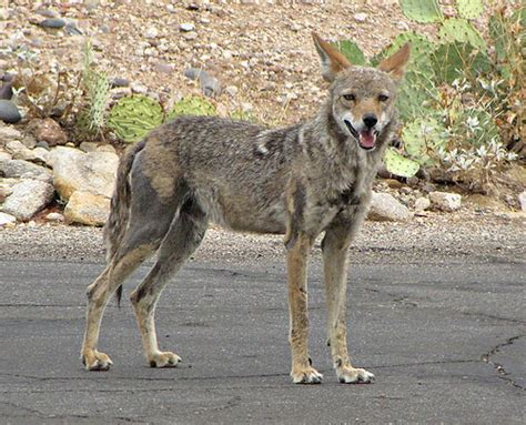 with mange coyote with mange notes from the west