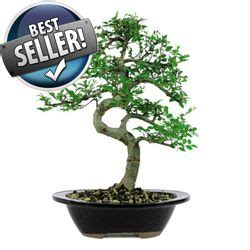 chinese elm bonsai tree indoor  outdoor ce