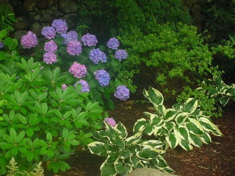 Hostas And Hydrangeas Hostas Pinterest Hosta Garden Layout