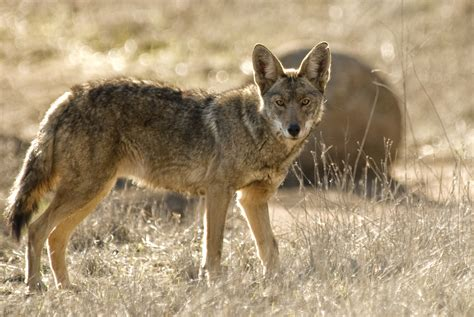 coyote challenge call coyote tips dan thompson calls