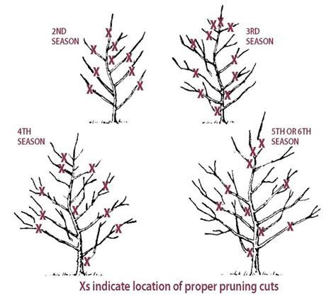 how do you prune fruit trees pruning cherry trees stark bro s
