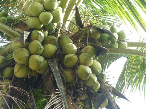 jual bibit kelapa hibrida jual bibit tanaman dan jasa