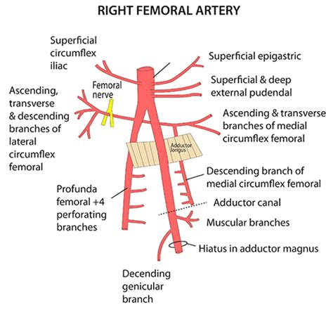 diagram of femoral artery instant anatomy lower limb vessels arteries