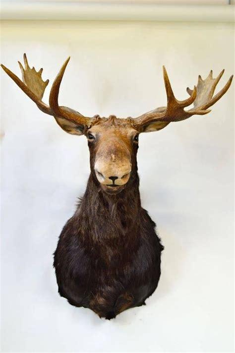 moose rubber st vintage moose mount trophy at 1stdibs