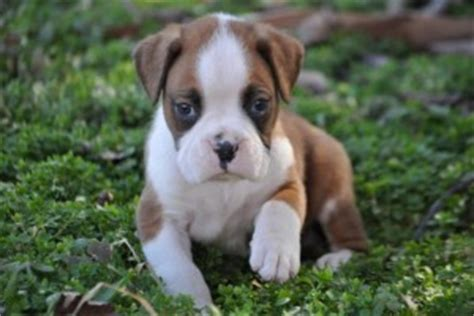 boxer puppies for sale las vegas dogs las vegas nv free classified ads