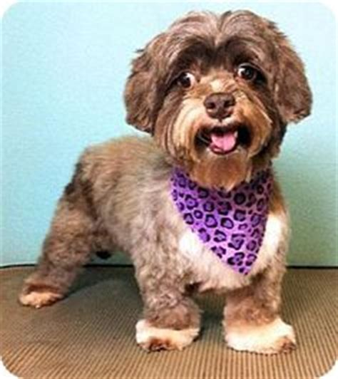 shih tzu rescue plano 1000 images about dogs to adopt adoptapet petfinder petango on canton