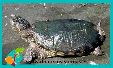 ficha de cuidados tortuga lagarto o mordedora tortuga mordedora crias chelydra serpentina 32 70