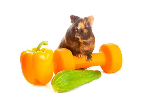 vegetables guinea pigs can eat what should rodents eat the importance of an healthy diet