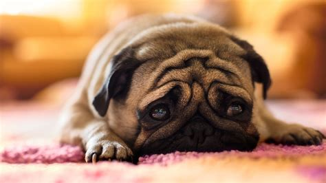 pug images hd pug images new photos hd wallpapers