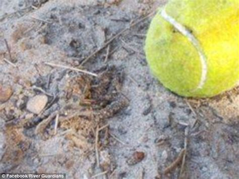 deadliest catch octopus perth children find blue ringed octopus in a tennis ball