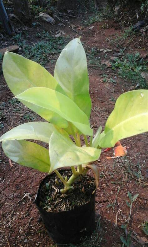 Pohon Tanaman Sirih Gading Centong jual jual tanaman pohon sirih gading centong hari flora