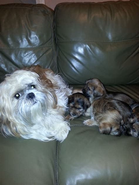 shih tzu yorkie mix puppies cavalier king charles spaniel poodle mix