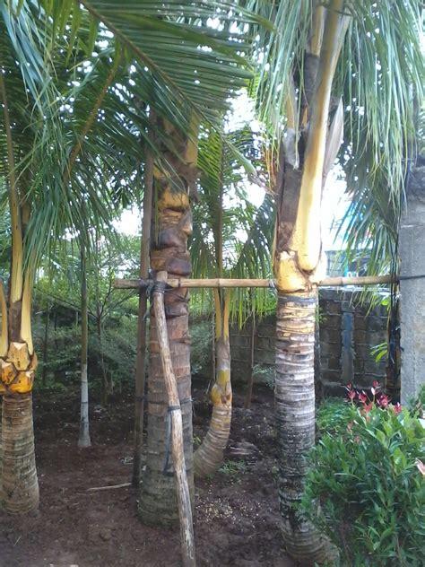 Tanaman Sirih Gading Kuning Pohon Sirih Gading Kuning 0895336476769 jual pohon kelapa hias kelapa kuning kelapa gading jual tanaman hias