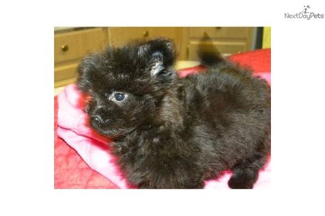 teacup pomapoo puppies for sale teacup pomapoo puppies for sale